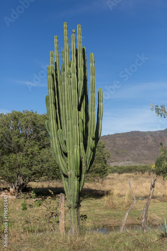Papiers peints Cactus pitaya