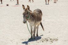 Donkey Standing On Hot Sand At...