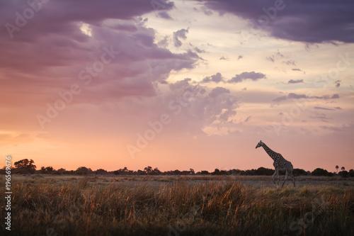 Giraffe walking at sunrise