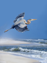Great Blue Heron Takes Flight From A White Sand Beach