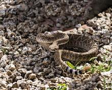 Rattlesnake Coiled & Ready