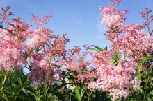 Pink Flowers Of Rodgersia Pinn...