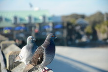 Pigeons On A Rooftop. Beautifu...