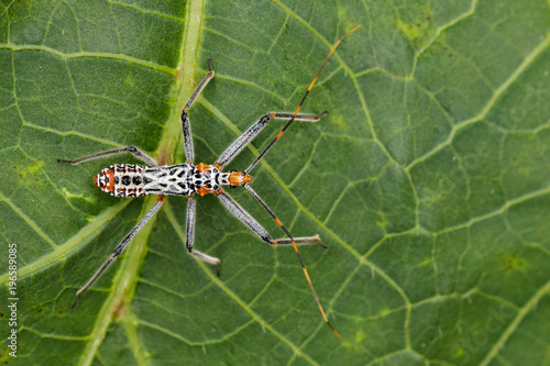 Photo  Image of an Assassin bug on green leaves. Insect. Animal