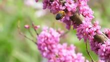 Slow Motion Of Bumblebee Flyin...