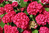 Flowering hydrangea with large, bright pink flowers. Close-up.