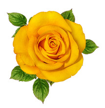 Yellow Roses Isolated On White...