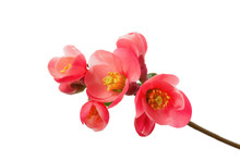 Close Up Of A Flowering Quince...