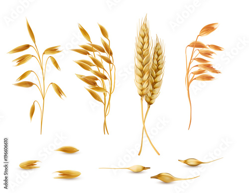 Vector realistic set of cereal plants, oat spikelets, barley ears, wheat or rye with grains isolated on background Canvas Print