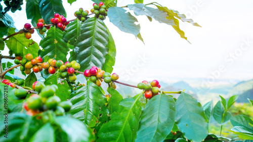 Photo Fresh arabica coffee bean on tree at mountain northern of Thailand