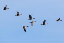 V Shaped Flock Of Greater Whit...