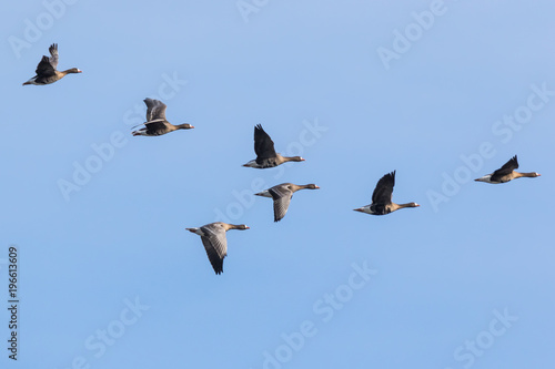 V shaped flock of greater white-fronted geese flying over the marshland near Mechelen