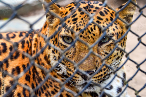 Poster Leopard Leopard in a zoo cage watching a photographer.