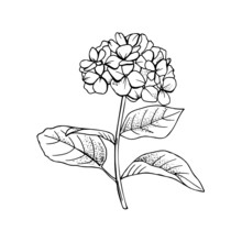 Hand-drawn Hydrangea Flower Drawing Line-art.Vector, Illustration And Clip Art On White Backgrounds.Idea For Business Visit Card, Typography Vector,print For T-shirt.