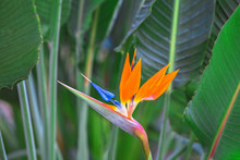 Beautiful Bird Of Paradise Flo...