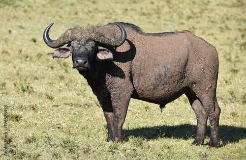 Poster Buffel Büffel in Afrika