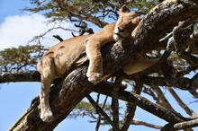 Löwin Ruht Auf Einer Akazie