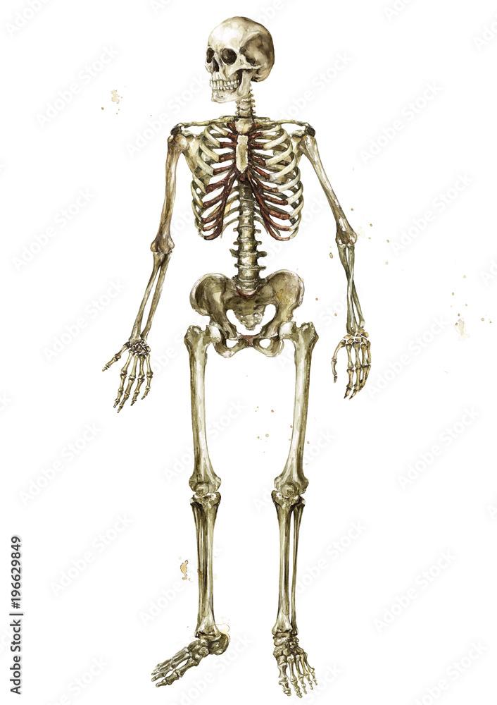 Human Skeleton Watercolor Illustration Foto Poster Wandbilder