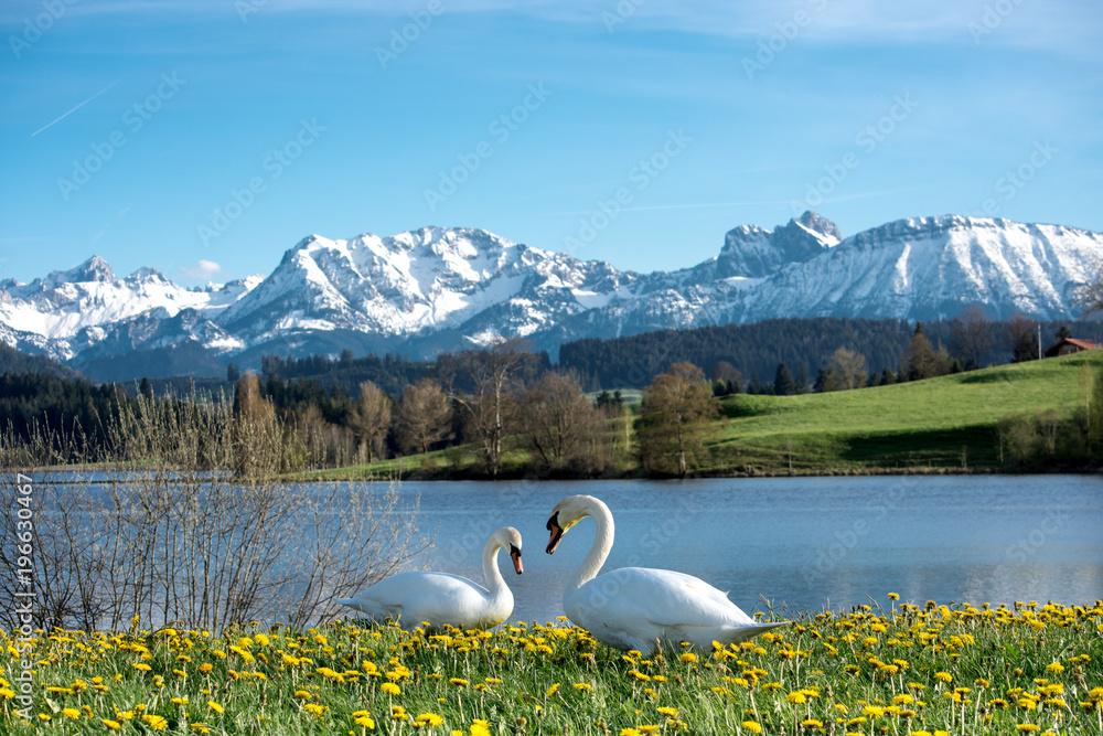 Schwänepaar im Allgäu vor Bergkulisse im Frühling. Herzform