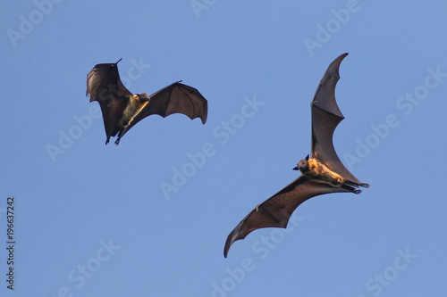 Two Indian flying fox bat on the sky,  Pteropus, giganteus