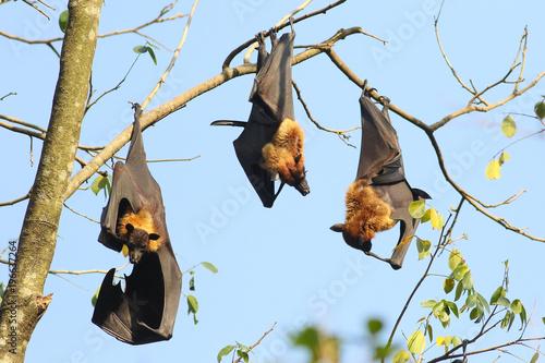 Three Indian flying fox bats, Pteropus, giganteus hang up on tree