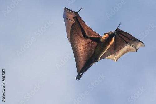 Male of Indian flying fox bat, Pteropus, giganteus