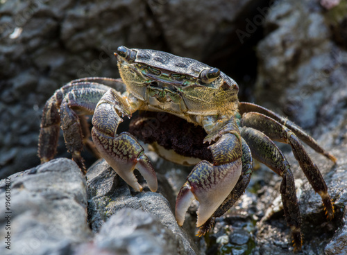 Photo  Crab Pauses While Scurrying Across Rocks