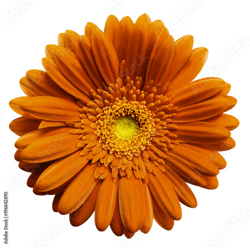 Orange gerbera flower, white isolated background with clipping path. Closeup. no shadows. For design. Nature.