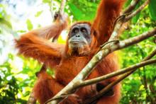 Female Orangutan Relaxing On T...
