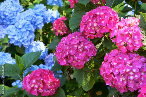 Foto op Plexiglas Hydrangea Hydrangea pink and cyan, bushy shrub with huge caps of flowers, blue and pink inflorescences on bushes