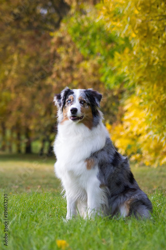 Fotografia Australian shepherd dog outside in beautiful colorful autumn.