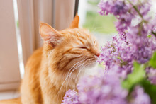 Cute Ginger Cat Smelling A Bou...