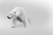 Polar Bear Walking Out Of The ...