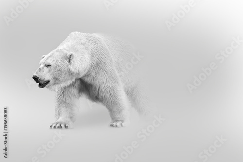 Poster Ijsbeer polar bear walking out of the shadow into the light digital wildlife art white edition