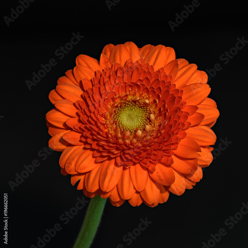 Foto op Plexiglas Gerbera Floral fine art still life detailed color macro flower portrait of a single isolated red gerbera wide opened blossom isolated on black background with detailed texture,front view