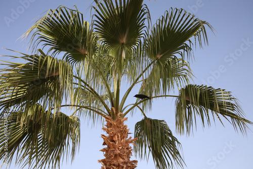 Staande foto Afrika Palm, raven, blue sky