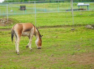 Naklejka na ściany i meble Przewalski's horse walking in a meadow chewing grass