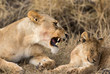 Lioness with cub in Serengeti National Park