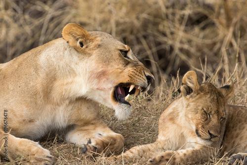 cub lioness Panthera leo