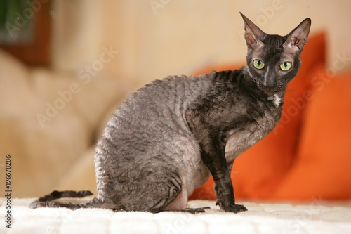 Fotomural cornish Rex cat sitting on the sofa