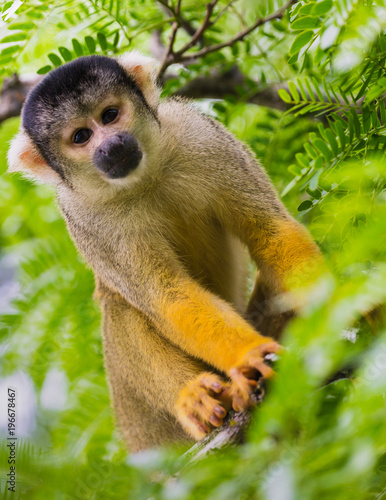 Vászonkép  yellow squirrel monkey in the amazon rainforest