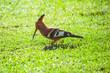 canvas print picture - Garden Birds- African Hoopoe