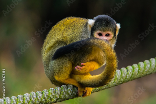 Photo  Squirrel monkey on a rope.