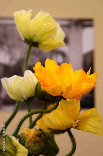 Fiori Gialli E Bianchi.Fiori Di Papaveri Gialli E Bianchi Buy This Stock Photo And