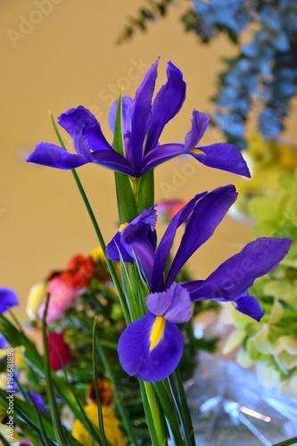 fiori blu di iris