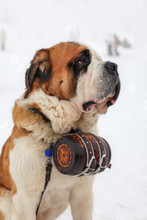 Close Up Of Saint Bernard Dog ...