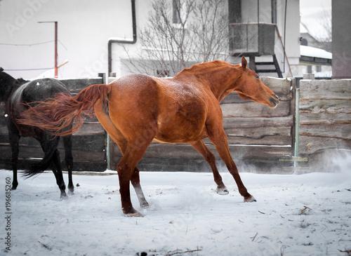 Fototapeta Red mare sports in the pen in winter obraz