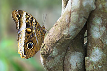 Owl Butterfly Showing Off Wing...