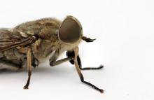 Scary Horsefly Macro