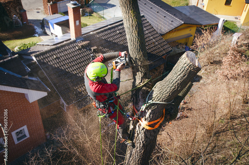 Fototapeta Arborist man cutting a branches with chainsaw and throw on a ground. The worker with helmet working at height on the trees. Lumberjack working with chainsaw during a nice sunny day. Tree and nature  obraz